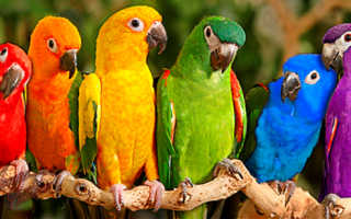 Брошка попугаи неразлучники фэн шуй