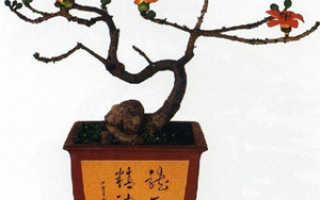 Бонсай дерево по фэн шуй