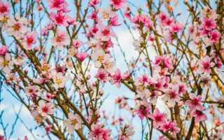 Фэн шуй персиковое дерево
