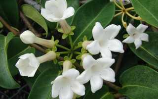 Стефанотис значение цветка по фэн-шуй