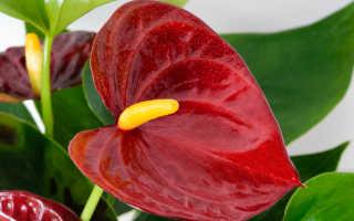 Мужское счастье цветок по фэн шуй