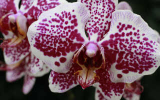 Орхидея по фэн шуй дома