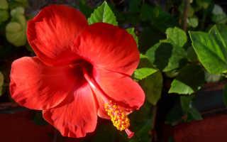 Роза китайская фэн шуй