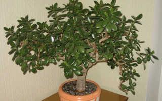 Денежное дерево по фен шуй: расположение, оформление и активизация