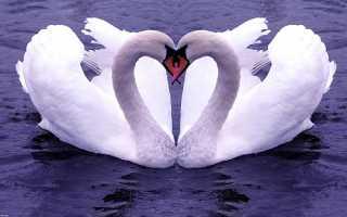 Изображение лебедей по фэн-шуй