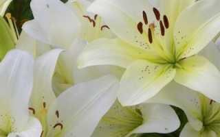 Фэн-шуй цветок лилия значение