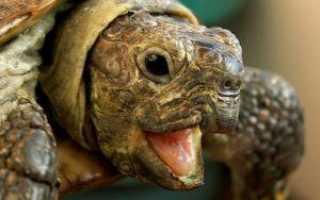 Фэн шуй черепаха космическая