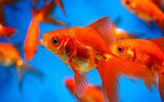 Фэн шуй две золотые рыбки