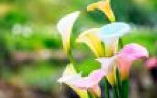 Калла цветок уличный что по фэн-шуй означает
