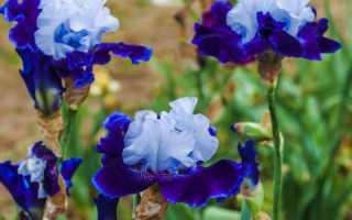 Ирисы что означает этот цветок по фэн-шуй